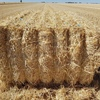 New Season Header Trail Barley Straw For Sale off the Baler Now!!! 470-480Kg Bales