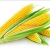 Corn / Maize