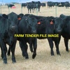 Upto 20 Black Angus Weaner Cattle Wanted