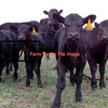 Angus Calves Up To Six Months Old Wanting 10 Head