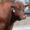 Moongool, Raff, Wandoan and 5 Star Senepol Bull Sale results