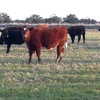 86 x Beef Steers For Sale Short horns / Angus and Angus short horn cross