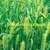 Feed / Forage Barley For Sale