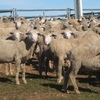 Mecardo Analysis - NSW lambs not coming to the fore
