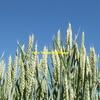 Wheat - Beardless / Awnless - Hay Wheat Variety