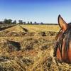 Sunlamb beardless wheaten hay 8x4x3 bales