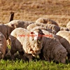 200 + Merino or X Bred Ewe's Wanted SIL or In Lamb