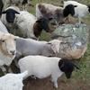 Black Headed Dorper Sheep For Sale