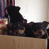 Purebred Kelpie Pups - excellent working parents