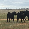 Angus and Black Baldy Heifer Weaners