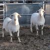 White Dorper Rams x 2