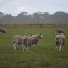 Castle Camps White Suffolk Rams