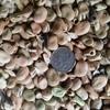 Beans ( Broard ) No 2's x 275 m/t