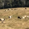Breeding Flock For Sale a mixture purebred Dorpers and Dorper Suffolk X Ewes. Producing fast growing, large framed, meaty lambs.
