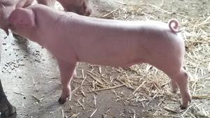 Landrace boar