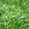 Wimmera Annual Ryegrass x 2,000 KG's