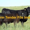 3 x Commercial Large Framed Cows & Calves