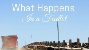 What Happen in a Feedlot - The Princess Royal Blog
