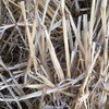 Wheaten Straw Long Windrowed 8x4x3 x 500 KG Bales