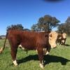 Poll Hereford Bulls from Glen Goulburn Genetics