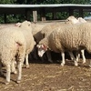 1.5Yrs Joined Stud Poll Dorset Ewes For Sale