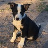 Kelpie x Border Collie pups