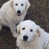 7 month old Maremma pups