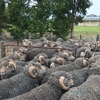 30  Nerstane blood Merino Rams