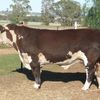 Poll Hereford Bulls for sale