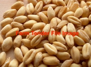 Awnless Wheat Seed