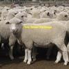 500 Cross Bred Ewe Lambs Wanted