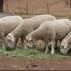 White Suffolk Rams