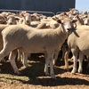 170 crossbred ewes may 2017 drop