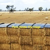 Vetch ( Morava) Hay 8x4x3 - 400 x 600 KG Approx Bales & Stacked /Capped