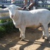 "STUD RAM ""Aberline Devil""  - SELLING BY EXPRESSION OF INTEREST (Closing 30th November 2016)"