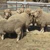 Merino Flock Rams