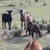 Boer X buck