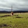 3 steers 1 heifer
