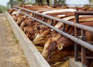Cattle above 1 million head despite challenges