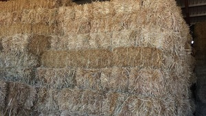 Small bales of clean sheded oaten hay