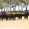 Wanted 20 Angus Heifers Delivered on Farm
