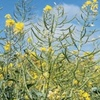Ten tips for success when sowing Canola early