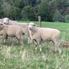 Ryeland rams for sale
