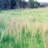 Salt tolerant TALL WHEAT GRASS
