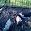 Piglets & Calves For Sale