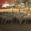 Merino wether lambs