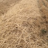 Header trail irrigated barley straw