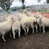 White Suffolk Ewe lambs