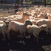 175 COMPOSITE EWES FOR SALE - Yellow Tag - Straight off Sheers- Come look today or tomorrow while yarded!