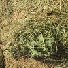 Clover Hay for Sale 8x4x3 large square bales